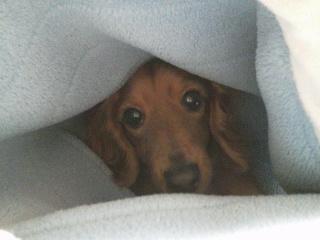 毛布にもぐるルナ