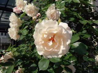 140518_rose1