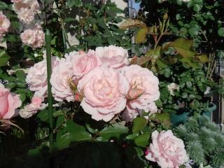140518_rose2