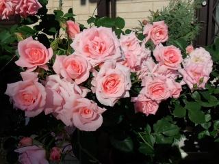 140518_rose5