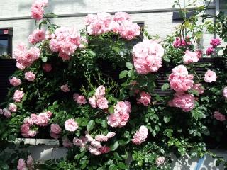 140524_rose